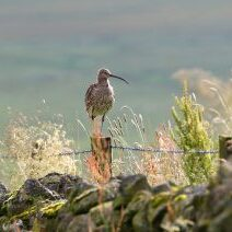 Curlew by Neal Warnock